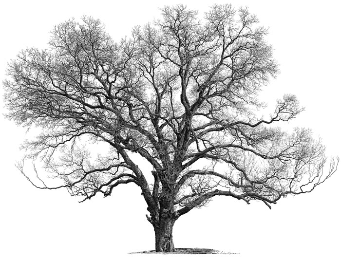 black and white picture of pecan trees pictures to pin on